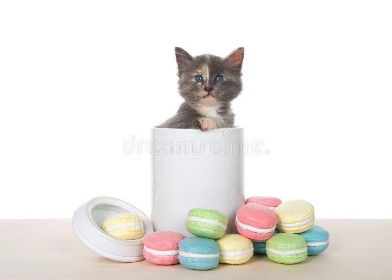 在饼罐的被稀释的tortie小猫 图库摄影