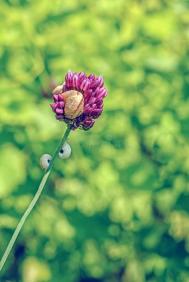 在香葱草本的蜗牛壳在vi射击的bokeh背景开花 免版税图库摄影