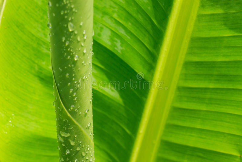 在香蕉叶子的下落水 免版税库存图片
