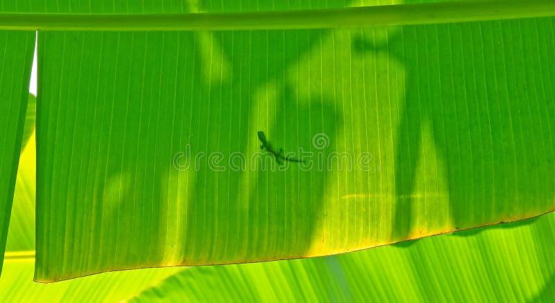 在香蕉叶子的壁虎 库存照片