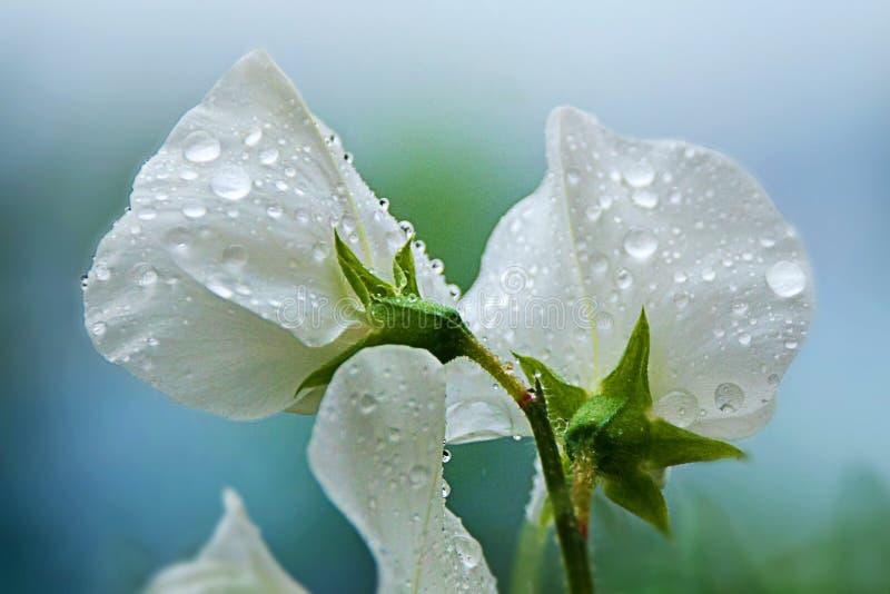 在香豌豆花的雨 图库摄影