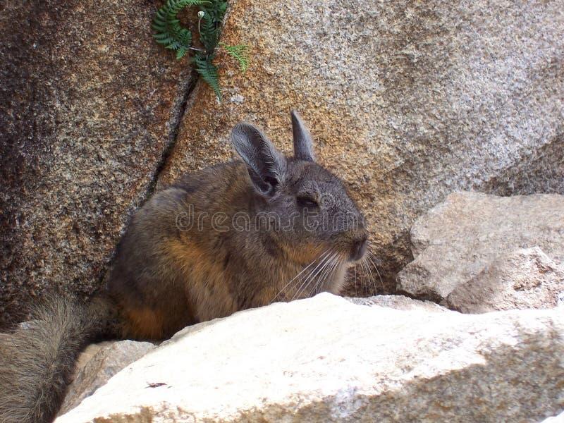 在马丘比丘的黄鼠,秘鲁 库存图片