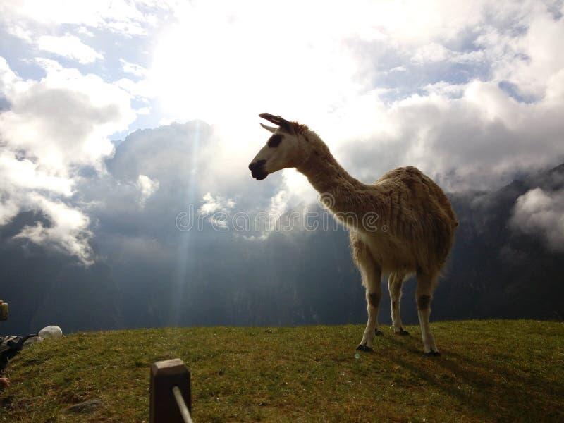 在马丘比丘黎明山的骆马  免版税库存图片
