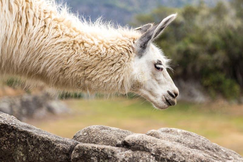 在马丘比丘,库斯科,秘鲁,南美的骆马 免版税库存图片