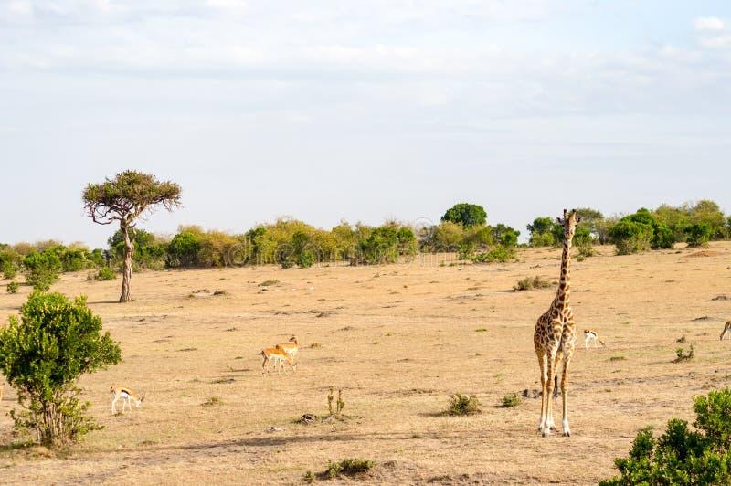 在马塞人北部Wes的玛拉公园大草原的被隔绝的长颈鹿  免版税库存照片