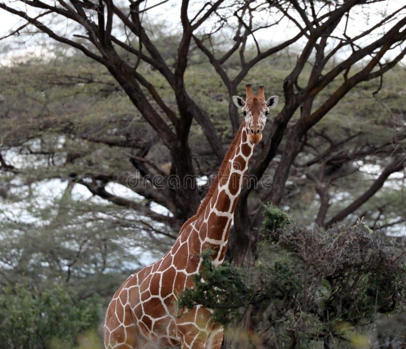 在马塞人玛拉储备的长颈鹿 图库摄影