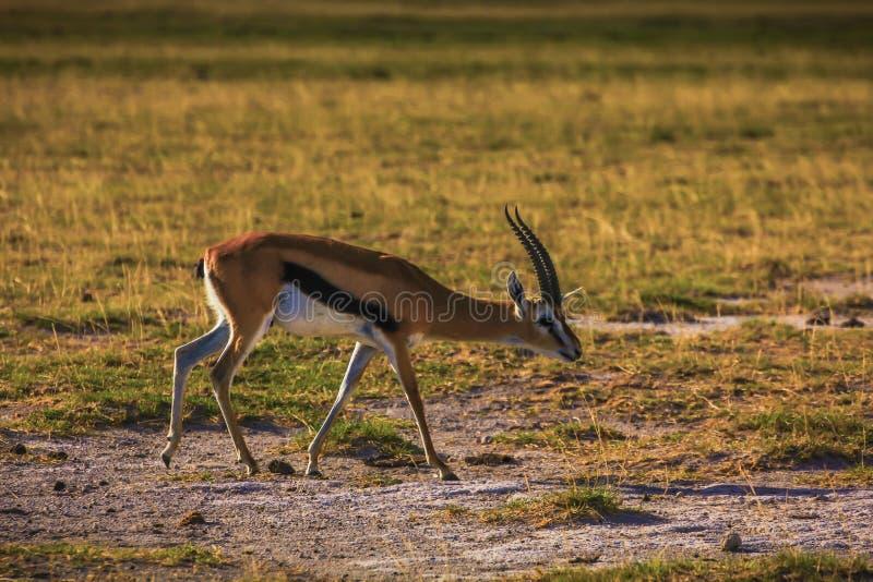 在马塞人玛拉国家储备的汤普森s瞪羚 库存图片