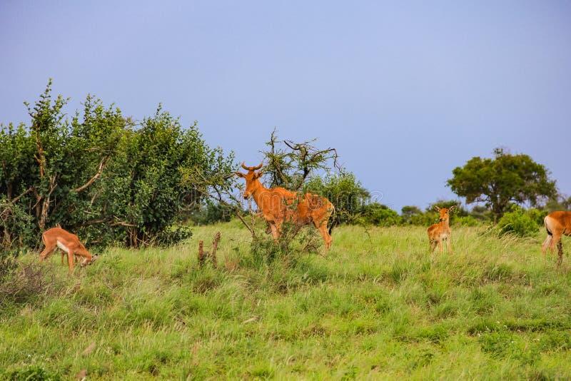 在马塞人玛拉国家储备肯尼亚的汤普森s瞪羚 免版税库存照片