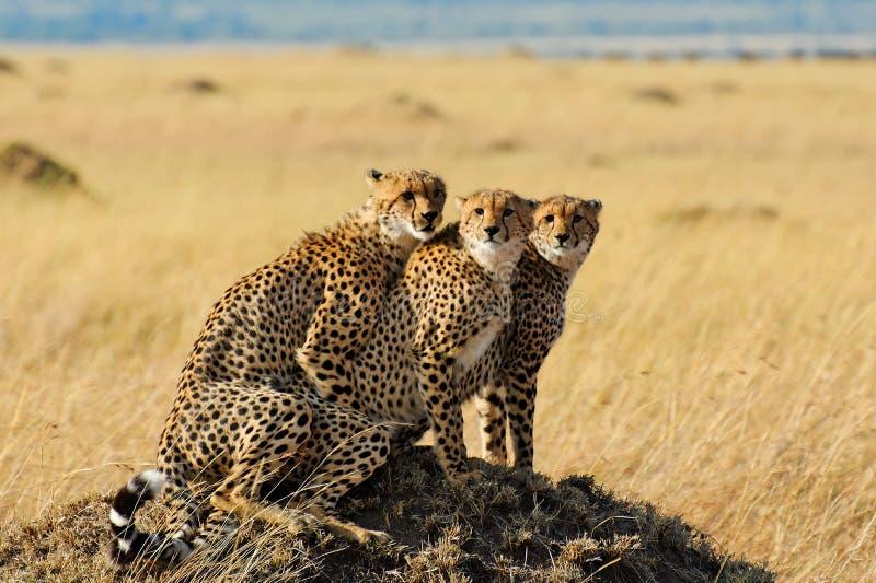 在马塞人玛拉国家储备,肯尼亚的猎豹 免版税库存照片