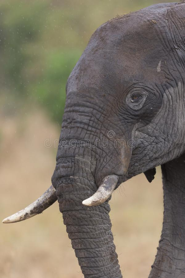 在马塞人玛拉国家公园的年轻大象画象 库存照片