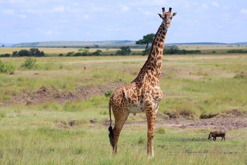 在马塞人玛拉的一头长颈鹿 免版税库存照片