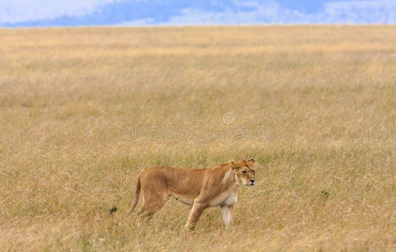 在马塞语玛拉大草原的雌狮  图库摄影