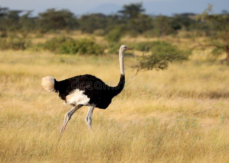 在马塞语玛拉的一只公驼鸟 免版税图库摄影