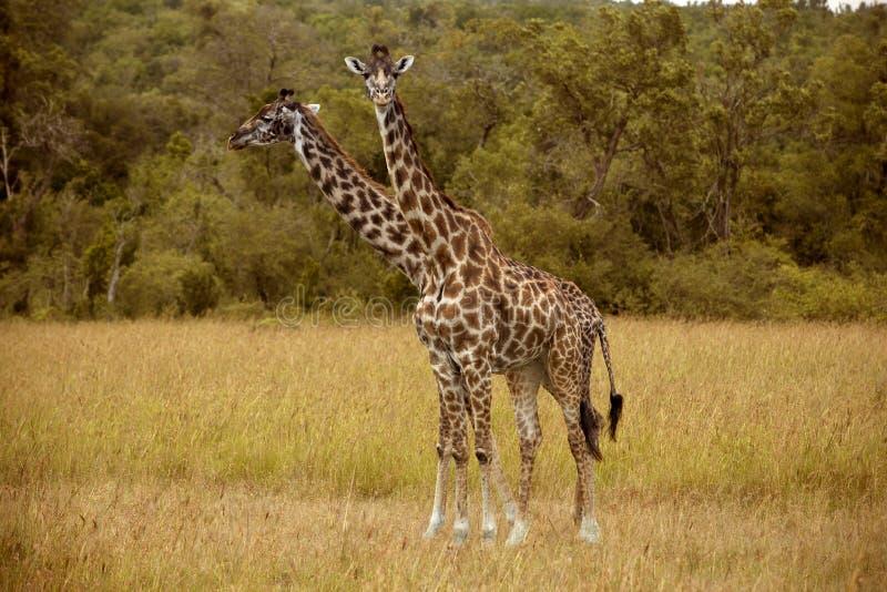 在马塞语玛拉的两头长颈鹿 库存照片