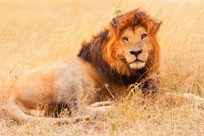 在马塞语玛拉的公狮子 库存照片