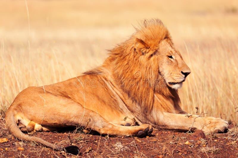 在马塞语玛拉的公狮子 免版税库存图片