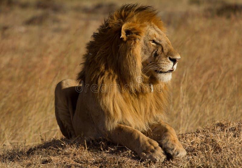 在马塞语玛拉的公狮子 库存图片