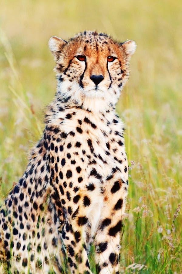 在马塞语玛拉的公猎豹 图库摄影