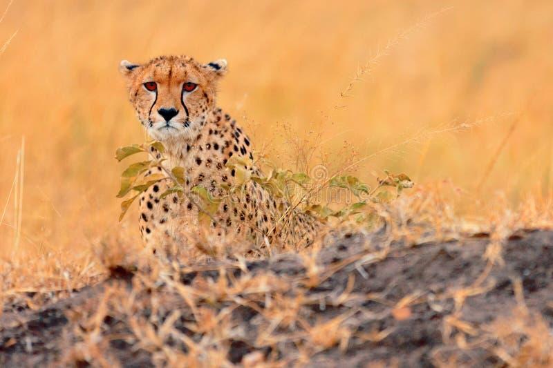 在马塞语玛拉的公猎豹 免版税库存图片