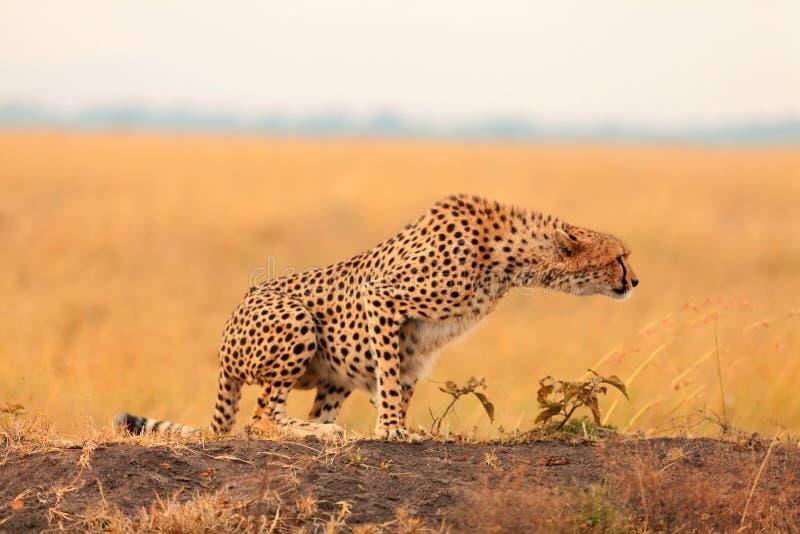 在马塞语玛拉的公猎豹 库存照片