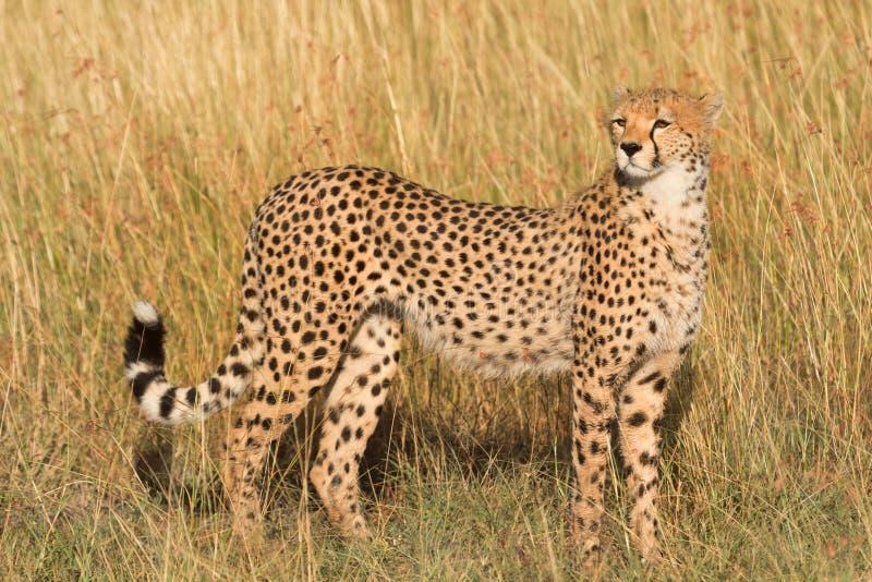 在马塞语玛拉的公猎豹 免版税库存照片