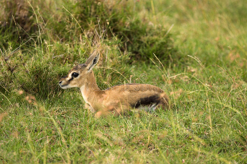 在马塞语玛拉的小飞羚 库存图片