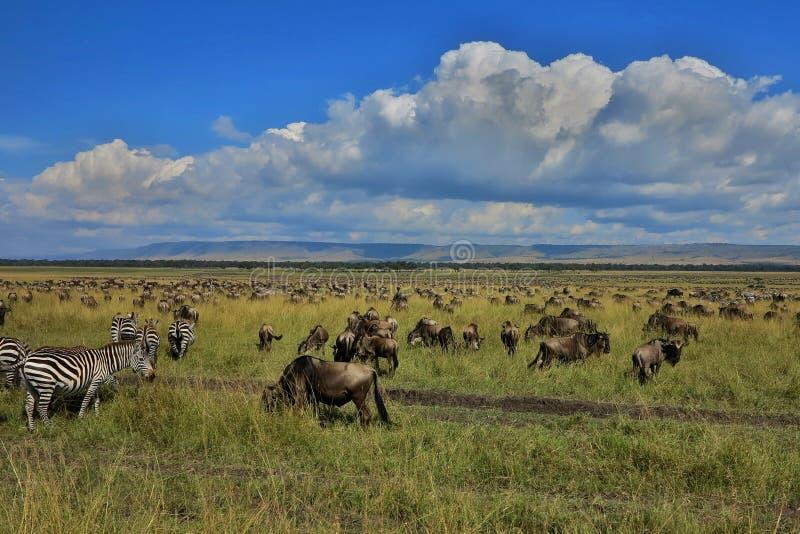在马塞语玛拉的巨大迁移 图库摄影