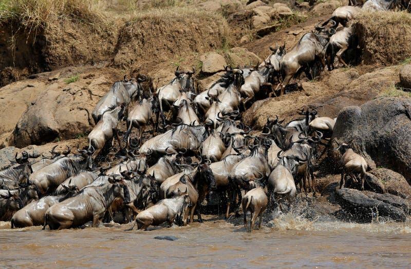 在马塞语玛拉的巨大迁移 库存图片