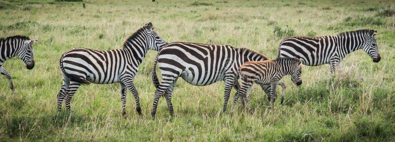 在马塞语玛拉的斑马在肯尼亚 图库摄影