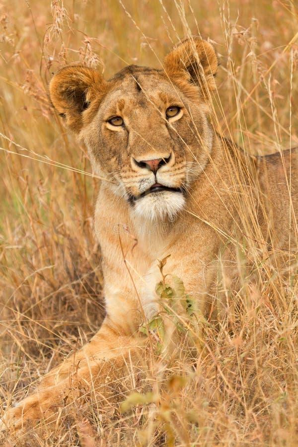 在马塞语玛拉的母狮子 库存照片