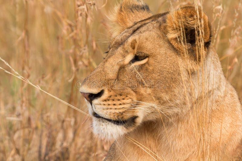 在马塞语玛拉的母狮子 免版税库存照片