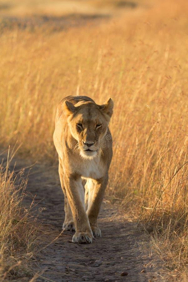 在马塞语玛拉的母狮子 库存图片