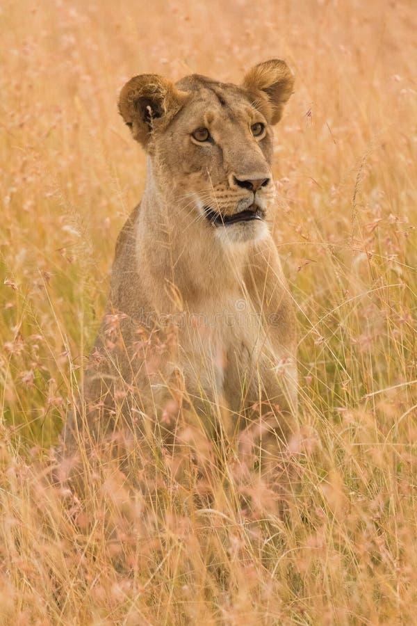 在马塞语玛拉的母狮子 免版税库存图片