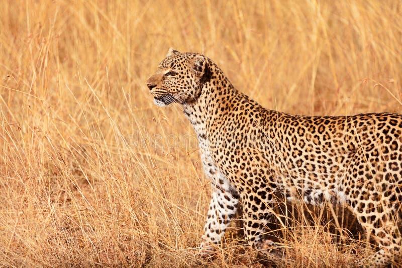 在马塞语玛拉的母豹子 免版税图库摄影
