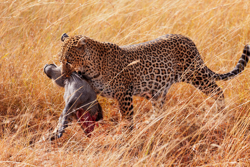 在马塞语玛拉的母豹子 免版税库存图片