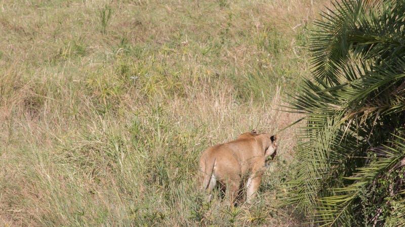 在马塞语玛拉的狮子画象 免版税库存照片