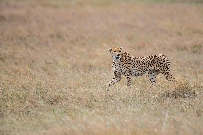 在马塞语玛拉的猎豹男性 库存图片
