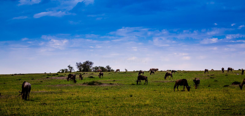 在马塞语玛拉的角马 免版税库存照片