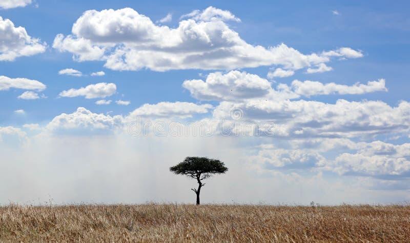 在马塞语玛拉的金合欢树 图库摄影