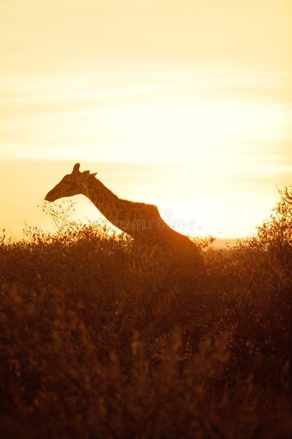 在马塞语玛拉的长颈鹿剪影 图库摄影