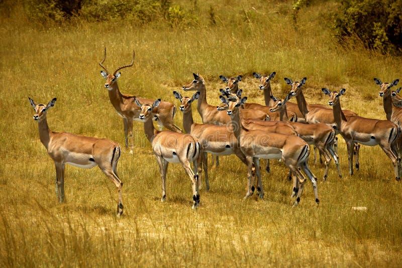 在马塞语玛拉的飞羚 免版税库存图片