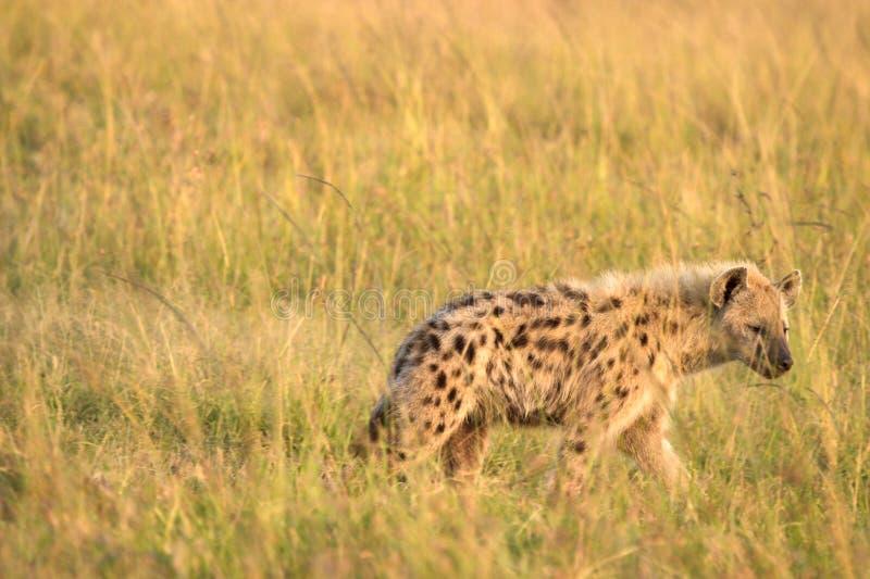 在马塞语玛拉肯尼亚的鬣狗 免版税库存照片