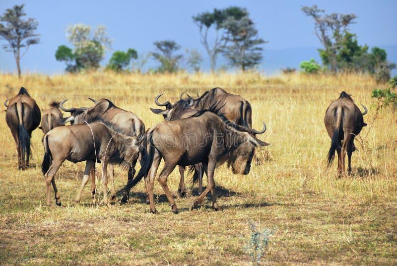 在马塞语玛拉,肯尼亚的牛羚 免版税图库摄影