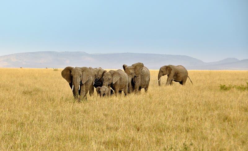 在马塞语-玛拉徒步旅行队的大象家庭在肯尼亚 库存图片