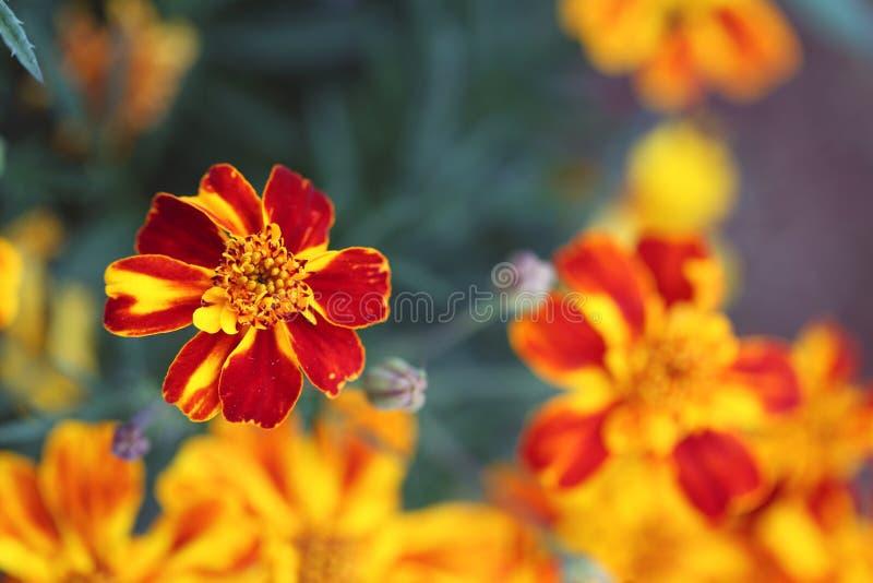在马德拉拍摄的红色&橙色双色的万寿菊花 库存图片
