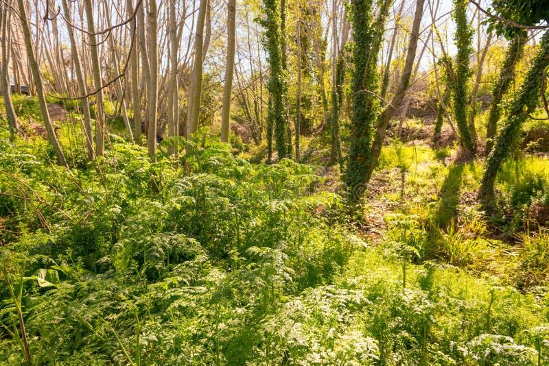 在马德雷del Agua小河旁边的叶茂盛树木繁茂区在Grimaldo 图库摄影