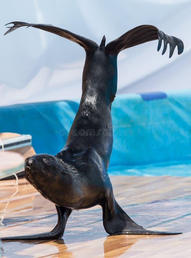 在马戏的海狗 图库摄影