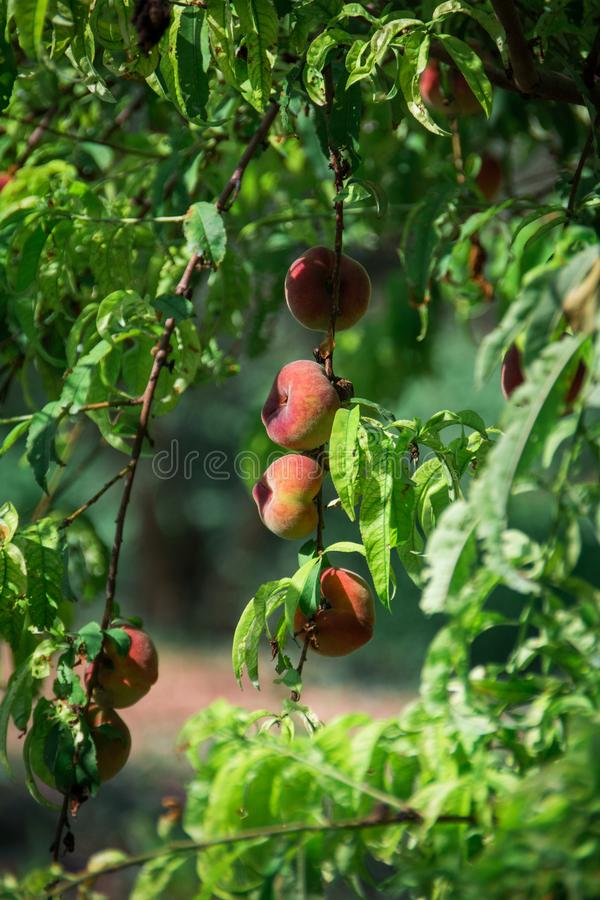 在马略卡的新鲜的桃树 印加人,马略卡,西班牙 免版税图库摄影