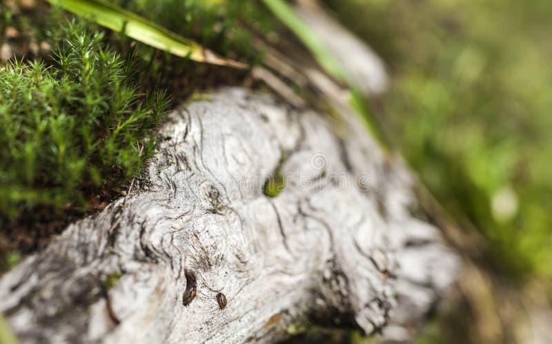 在马秋天附近的小赤裸蜗牛一个老树干,特兰西瓦尼亚,罗马尼亚的表面上