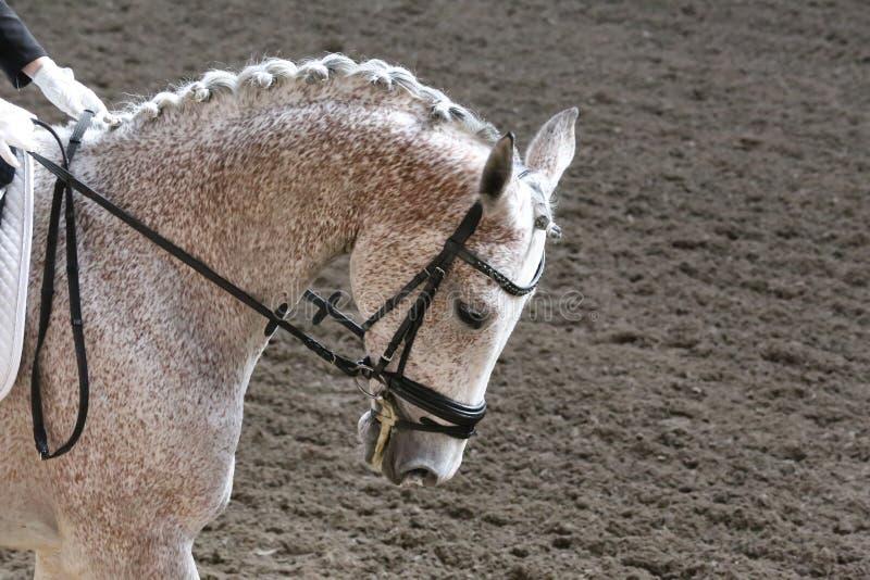 在驯马马事件的未知的兢争者乘驾在乘坐的地面 一匹驯马马的顶头被射击的特写镜头在竞争事件期间的 库存照片